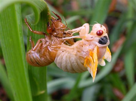 file cicada molting jpg wikimedia commons