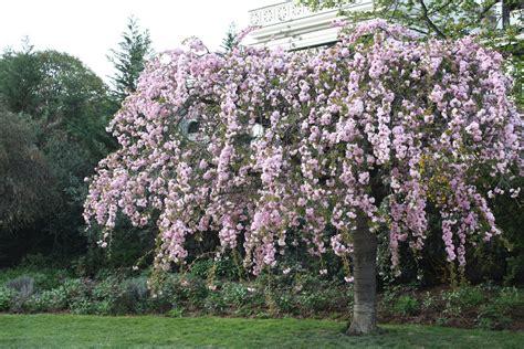 blooming trees in pink flowering trees bing images