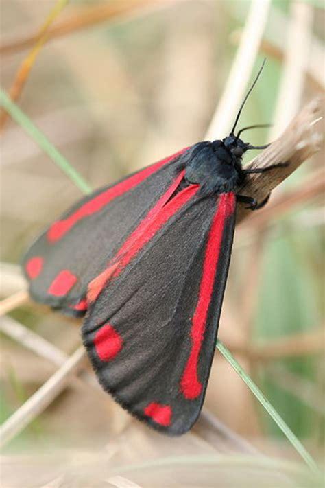 buglife ragwort   cinnabar moth hubpages