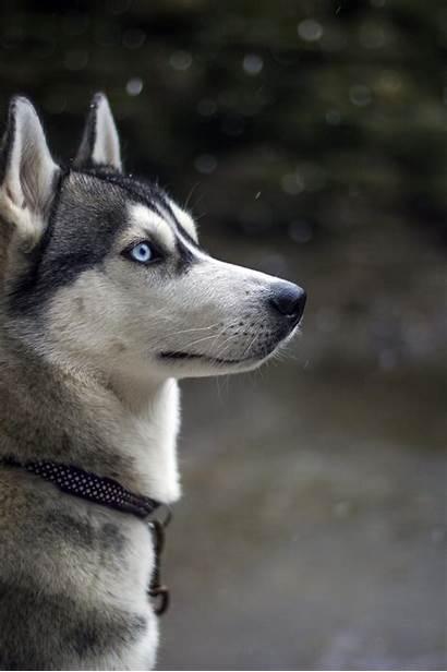 Husky Iphone Siberian Huskies Dog Dogs Siberiano