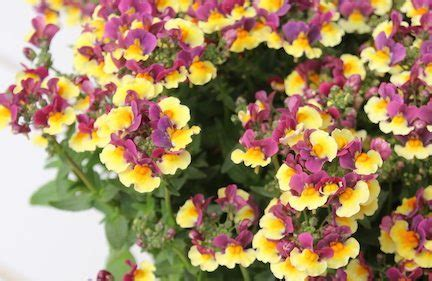plant havens nemesia sunglow yellow bicolor greenhouse product news