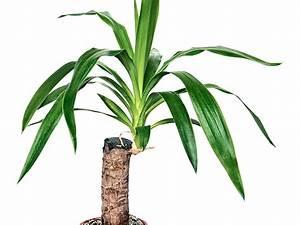 Yucca Palme Winterhart : yucca palme versiegeln wann und warum macht man das ~ A.2002-acura-tl-radio.info Haus und Dekorationen