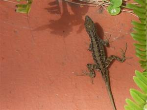 Lrc Digital Newsletter Common South Florida Lizards