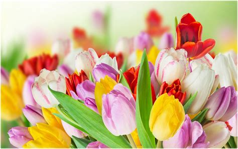 tulips images tulips hd wallpaper spring tulips colorful tulips flowers hd wallpaper wide