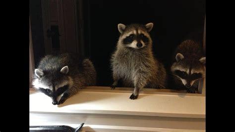 Cute Baby Raccoons Waving Youtube