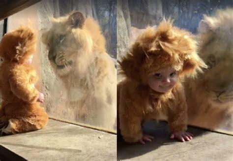 bebe vestido de leon frente  leon real  de animales