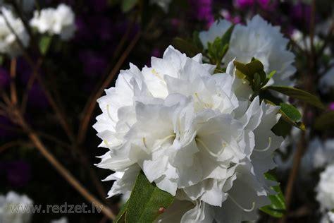 Rododendru šķirne 'April Snow' - Rododendrs 'April Snow ...