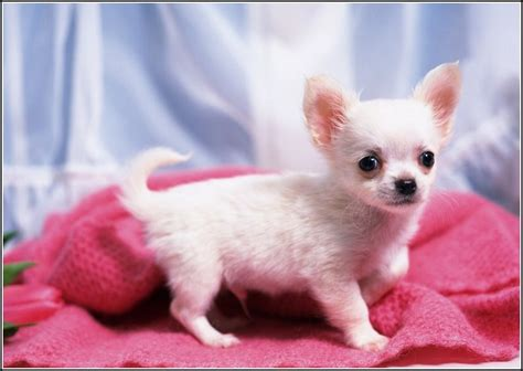chiwawa dog whitepet  gallery dog pet