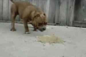 dog vomiting  symptoms treatments  ayushveda