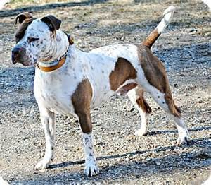 dog ready for adoption pit bull terrier bluetick coonhound