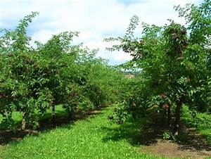 Purin De Sureau : botanique culture du sureau noir bio sureau bio poudre ~ Melissatoandfro.com Idées de Décoration