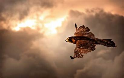 Flight Hawk Birds Wallpapers Animals Desktop Flying