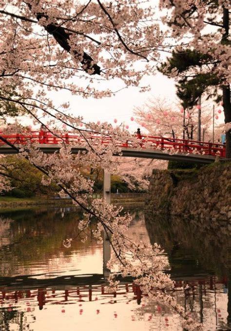 fiori  ciliegio  tumblr