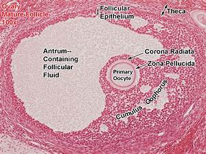 Ovary-Mature Follicle-100x-All Labels-27162738 copy.jpg ...