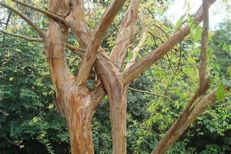 arang kayu cratoxylum cochinchinense