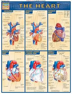 92 Best Images About Anatomy  U0026 Physiology On Pinterest
