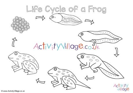 frog life cycle colouring page