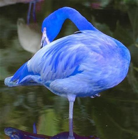 what color is a flamingo blue flamingos been located in the galapagos islands