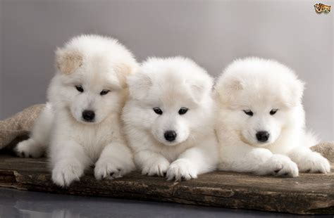 Some More Information About The Samoyed Dog Breed Pets4homes