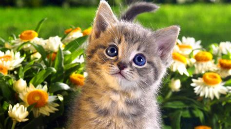 Animated Cat Wallpaper Free - free cat wallpapers widescreen 171 wallpapers