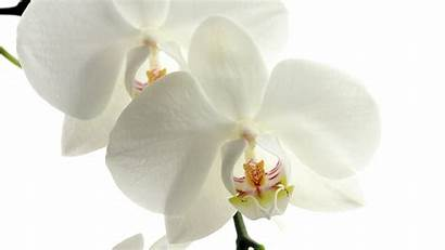 Orchid Bud 4k Close Wallpapers Flowers Resolution
