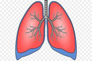 Lungs Clipart Respiration  Lungs Respiration Transparent