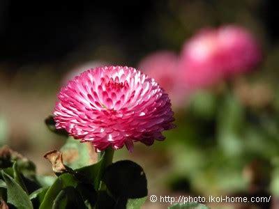 japanese names flower daisy flower name japanese kanji images