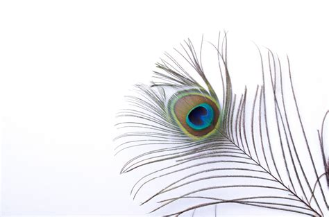 peacock feather  stock photo public domain pictures