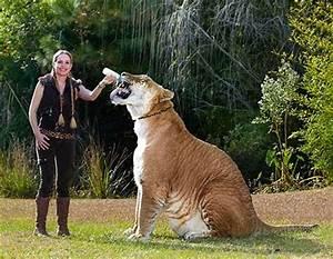 Ky është tigri më gjigant në botë – Klan Kosova