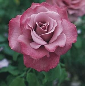Wann Schneidet Man Rosen : rosen pflanzen rosen im k bel so pflanzen sie richtig ~ Lizthompson.info Haus und Dekorationen