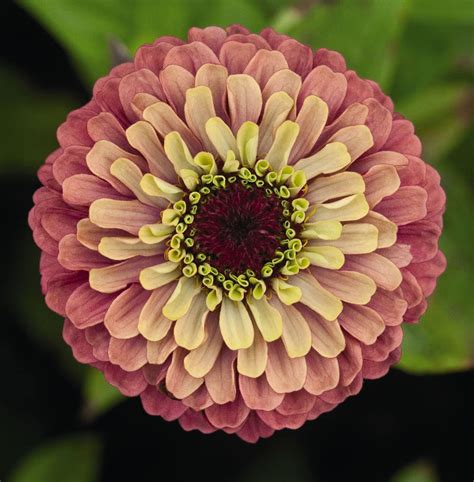 pics of zinnias zinnias bring a rainbow of summer color houston grows