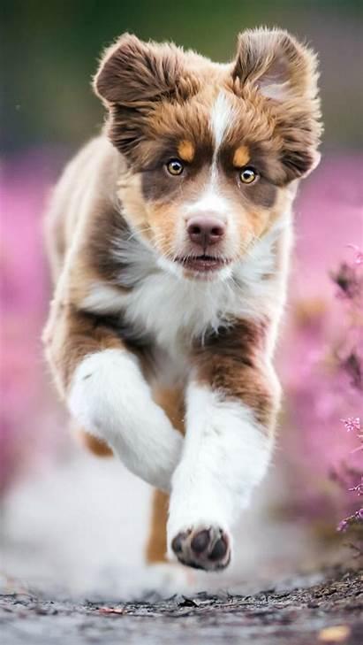 Australian Shepherd 4k Puppy Aussie Ultra Puppies
