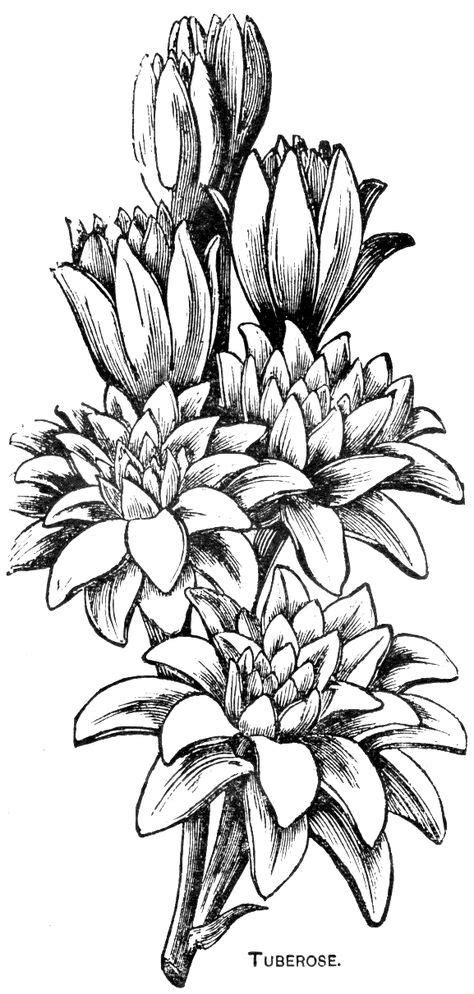 Digital Two for Tuesday: Lilly and Tuberose | Black and white drawing, Digital flowers, Flower