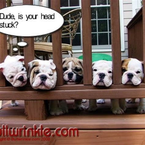 funny bulldogs cuteness pinterest pictures  love