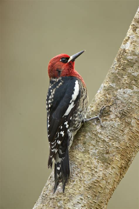 drumming with woodpeckers birdnote