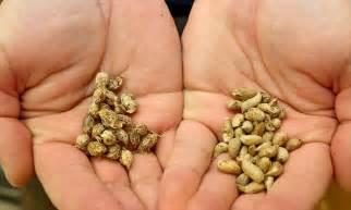 peanuts originate from ancient bolivia researchers find
