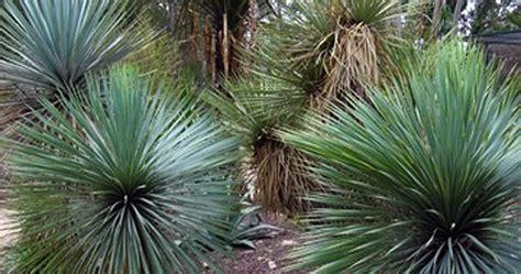 yuccas et dasylirions