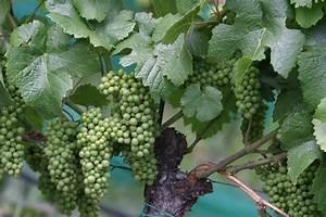 1 Planta Uva Vid Verde Sin Semilla Cultivo Organico $ 130 00 en Mercado Libre
