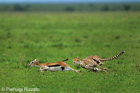habitat si鑒e social habitat vita sociale alimentazione ghepardo cheetahs 39 s paradise