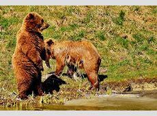 Medvjedice ostaju godinu dana duže s mladuncima – zbog