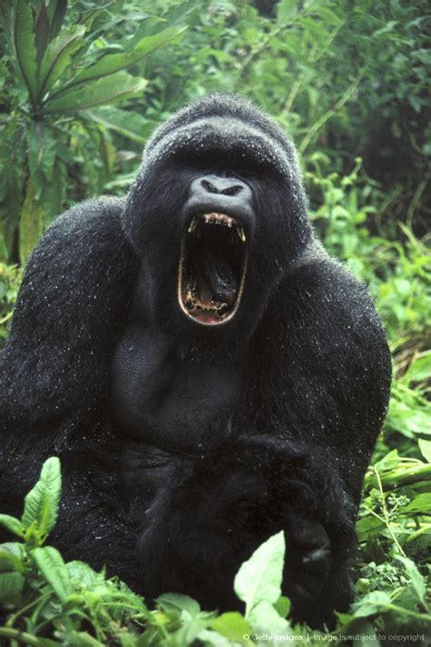 image detail  mountain gorilla gorilla gorilla