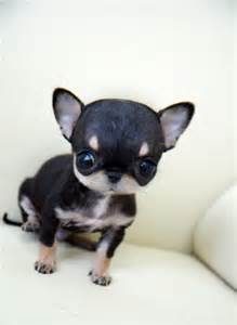 Teacup Applehead Chihuahua Puppy for Sale