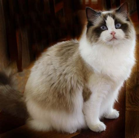 health issues  ragdoll catsclick  picture  read
