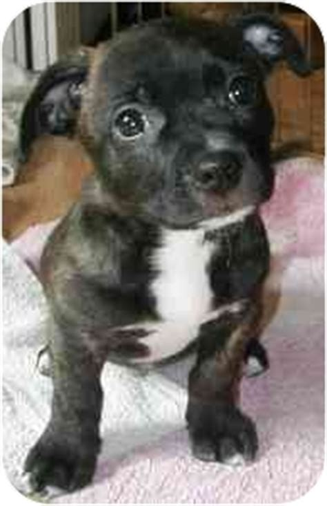 Wake Forest, NC - French Bulldog. Meet Brickel a Pet for
