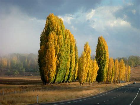 Autumn Poplars - Visit Cooma