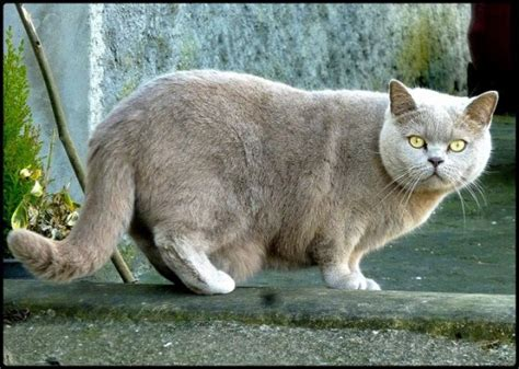 13 Interesting Large Cat Breeds (#8 Is Absolutely Adorable