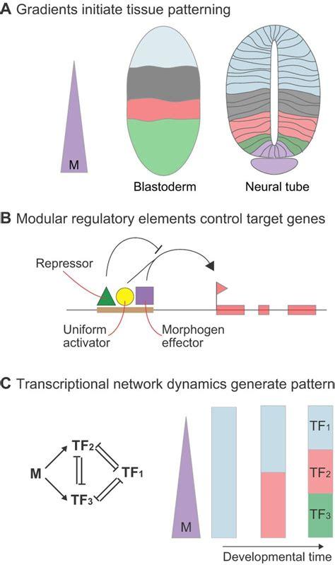 morphogen rules design principles  gradient mediated