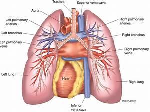Lungs  U0026 Heart