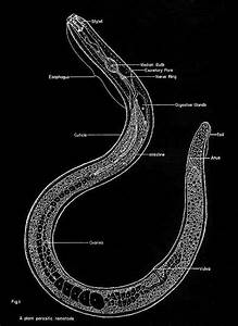 Diagram Of A Nematoda