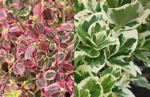 Plantes à Feuillage Persistant : haie basse de 10 arbustes feuillage persistant ~ Premium-room.com Idées de Décoration